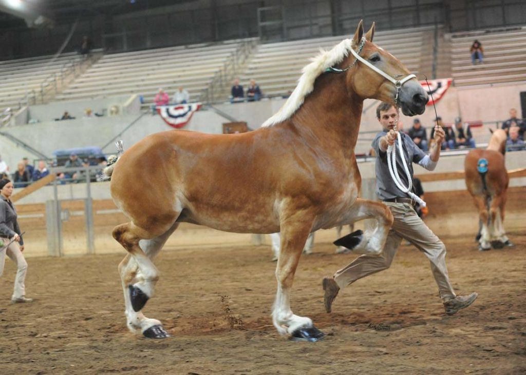 Belgian Draft Horse Corporation Colors And Markings